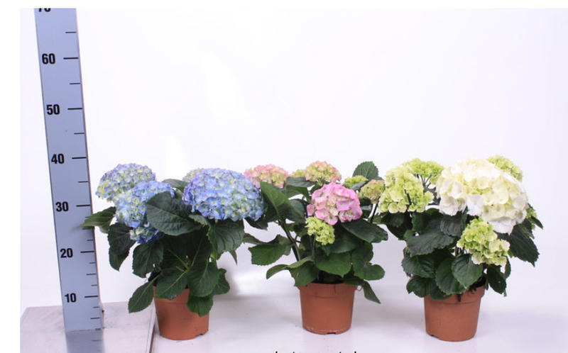 Гортензия комнатные уход за цветком