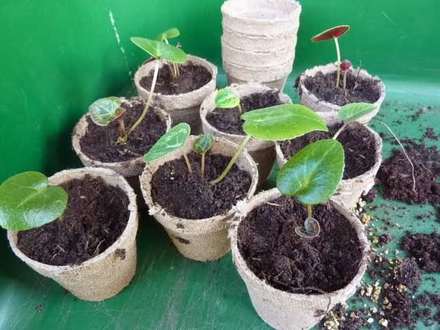 Несколько горшков с растением