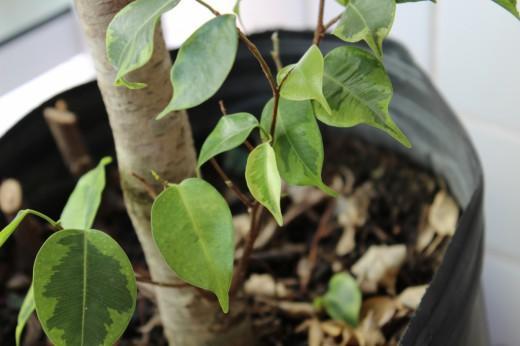 Опавшие листья в ведре с растением