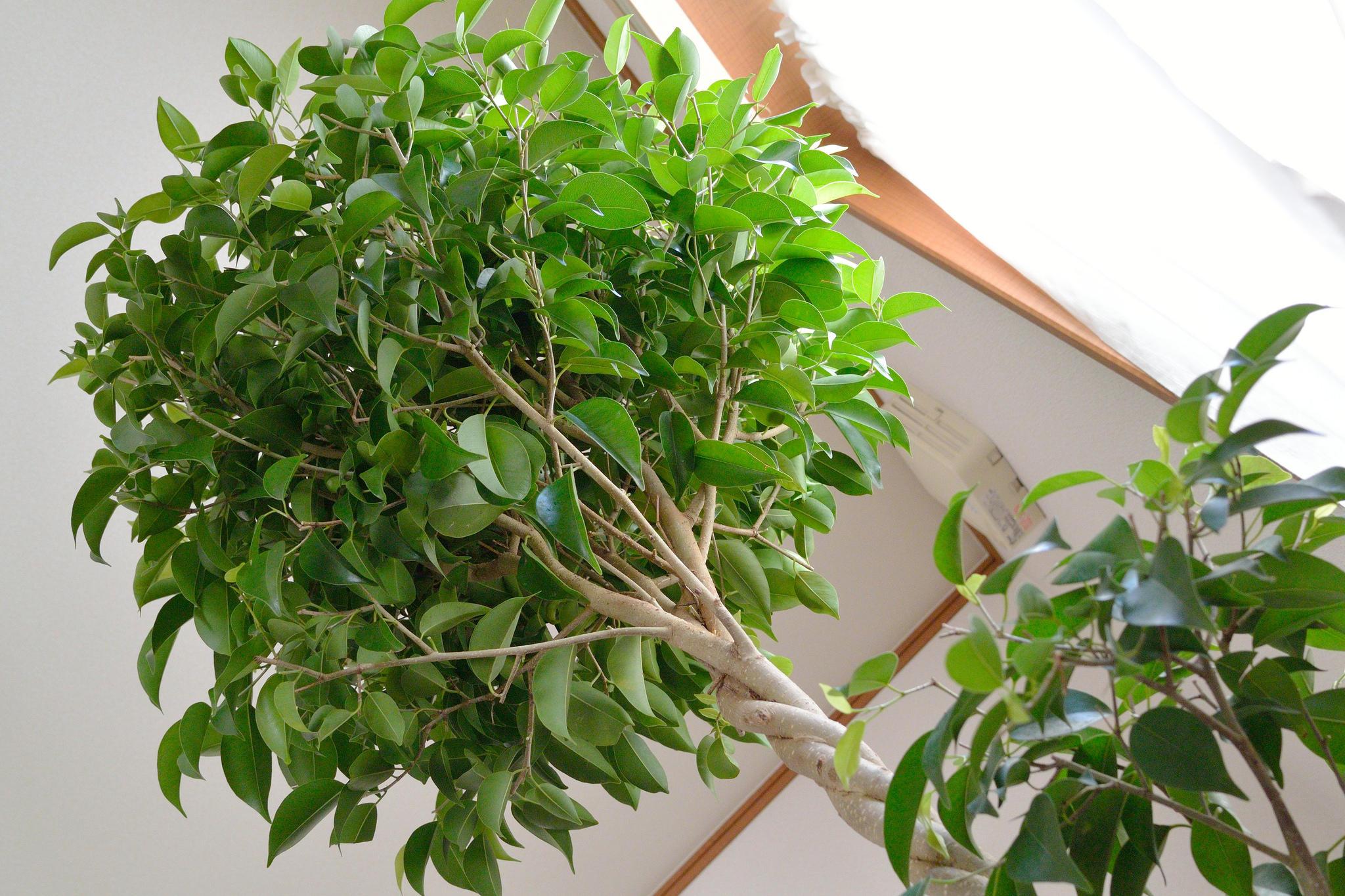 Крупный фикус-дерево на фото
