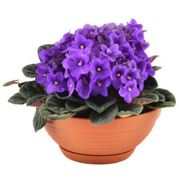 Красивый цикламен с фиолетовыми листьями