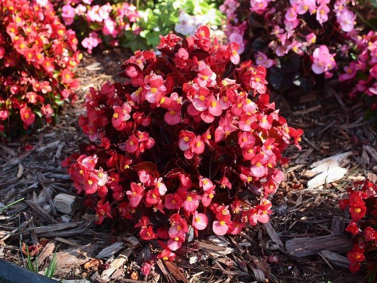 Красивая Begonia в земле