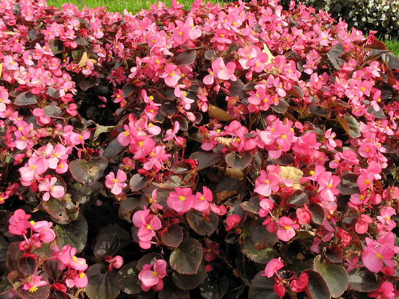 Бегония с ярко-алыми цветками