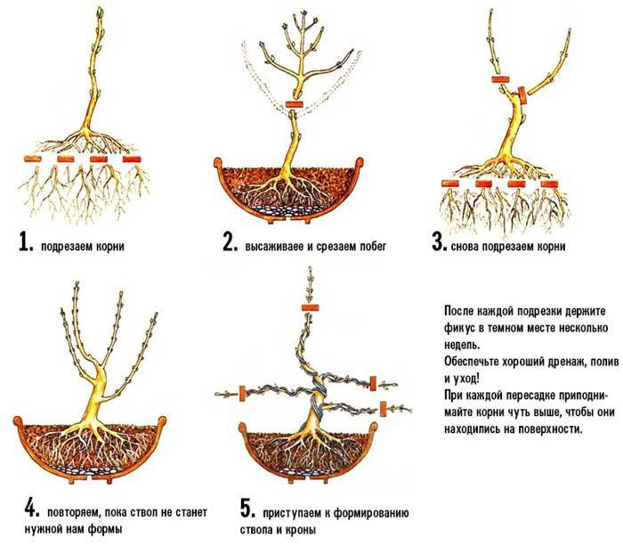 Как правильно сформировать крону растения