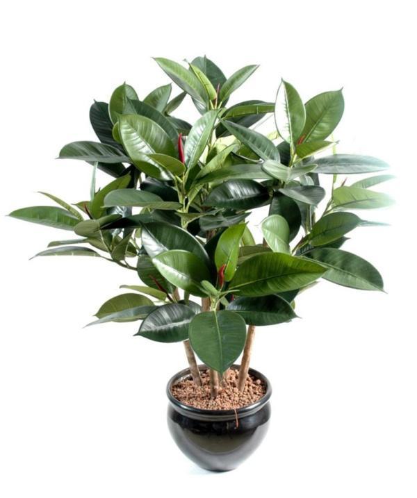 Вечнозеленый цветок с крупными листками