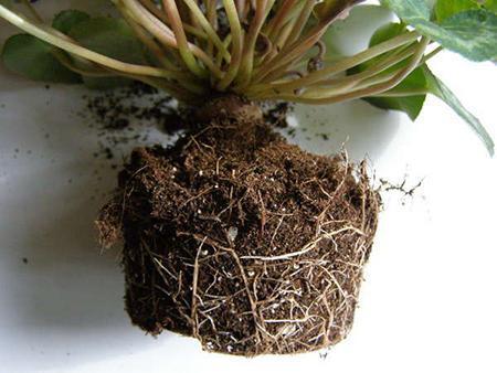 Корень растения перед посадкой