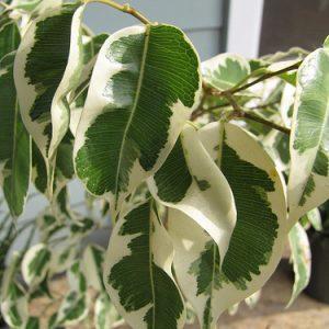 Листья фикуса слегка пожелтели