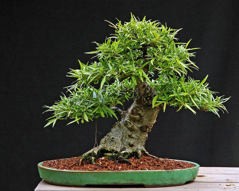 Фикус в виде небольшого дерева