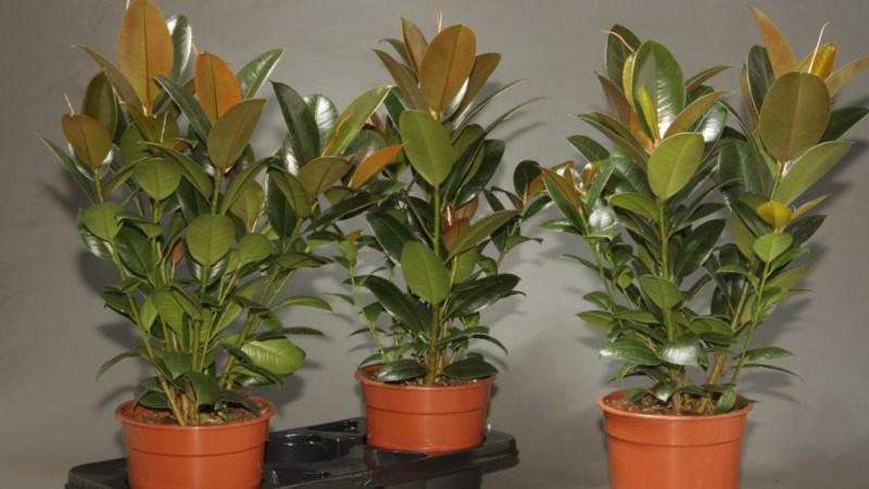 Сорт растения Мелани в горшках