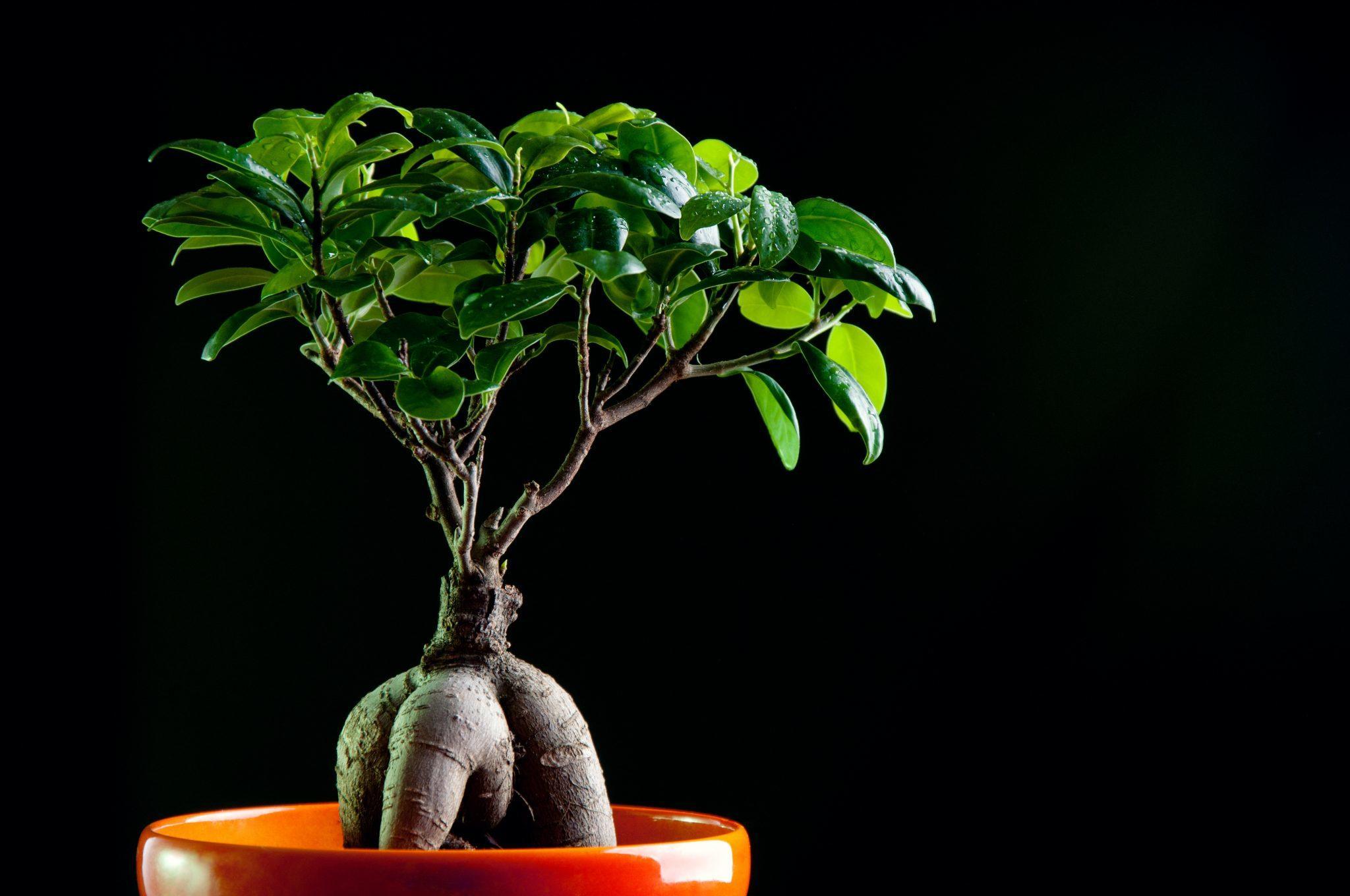 Ficus на фото в оранжевом горшке