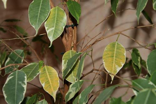 Несколько листков фикуса желтого цвета