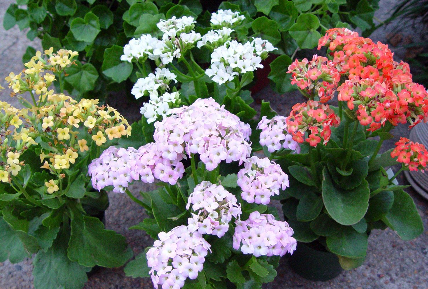 Цветущее растение нескольких сортов
