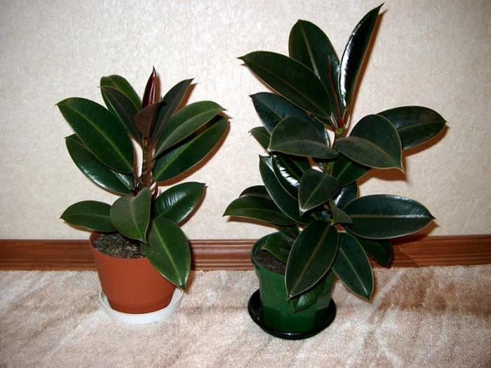 Два красивых растения в больших горшках
