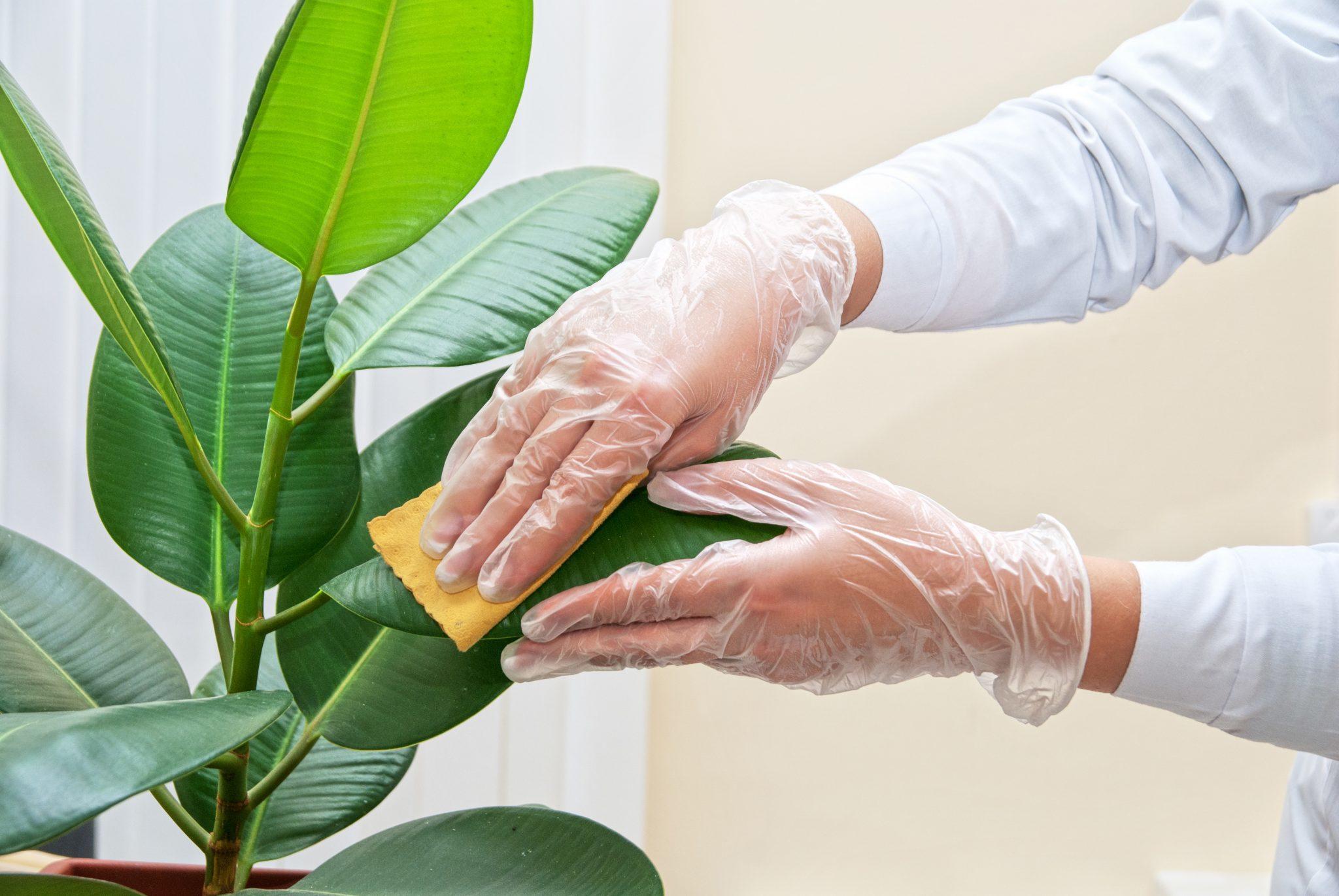 Протирать листья можно влажной губкой