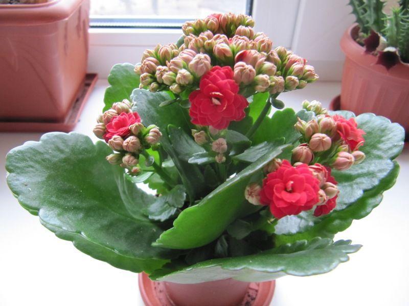 Каланхоэ Розалина в период цветения