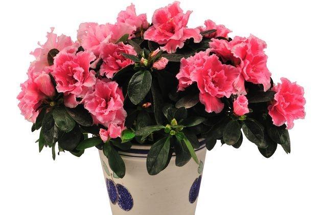 Розовые соцветия в горшке