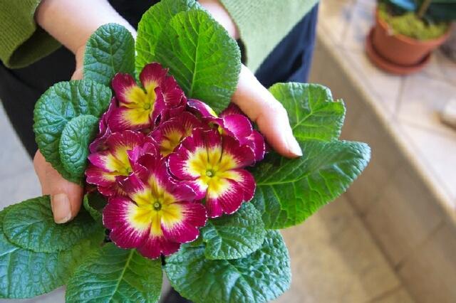 Комнатное растение с яркими цветами