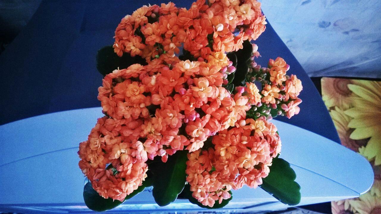 Цветущая Розалина в горшке
