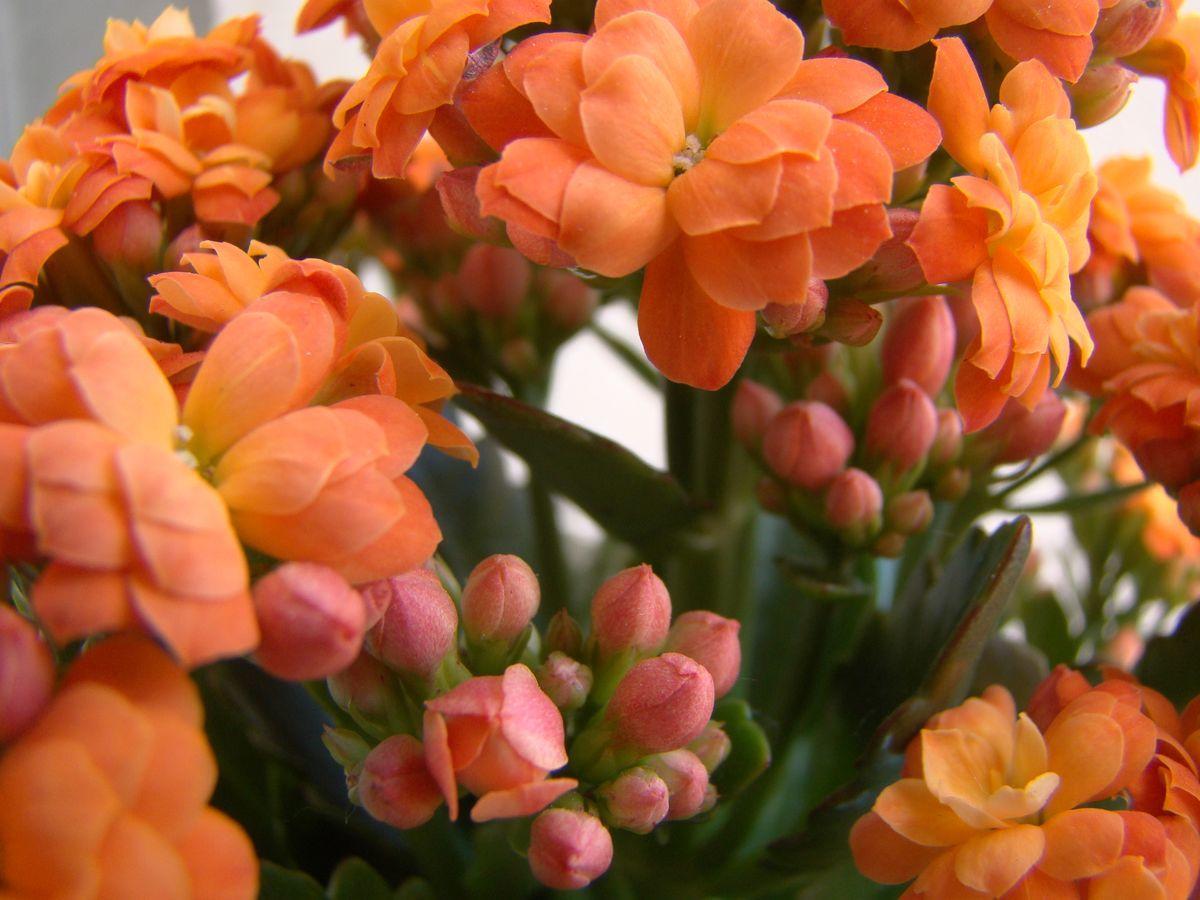 Огненные цветы каланхоэ микс
