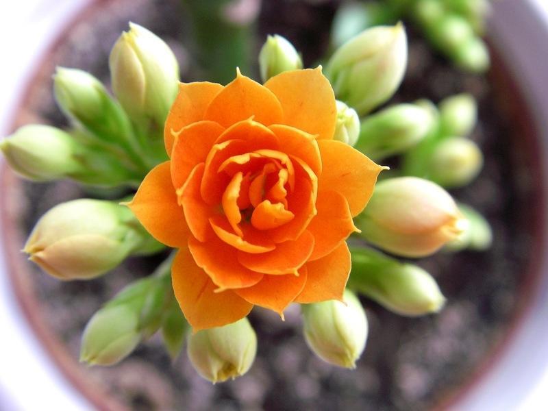 Красивый оранжевый цветок сорта Розалина