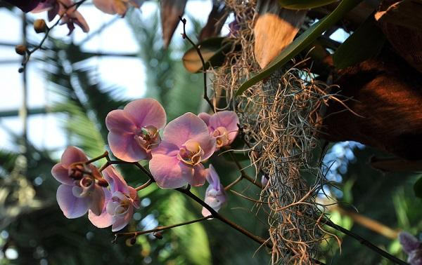 Орхидея, растущая в природных условиях