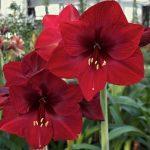 Гиппеаструм - красные цветы растения