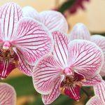 Цветки орхидеи с розовой полосочкой