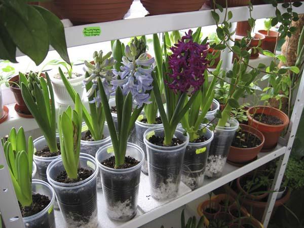 Цветы гиацинта дома в горшках