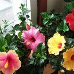 Разноцветные цветки гибискуса