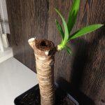 Росток домашнего растения юкки