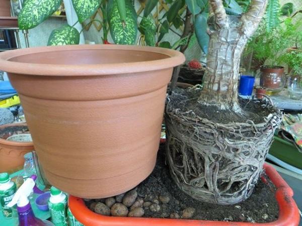 Пересадка растения юкка в горшок