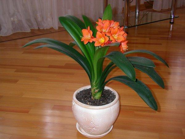 Кливия цветок уход в домашних условиях