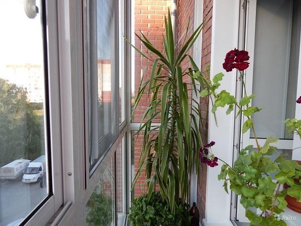 Юкка в горшке на балконе