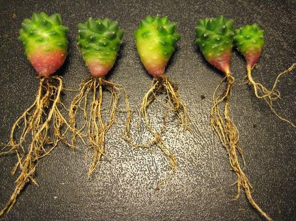Длинные корешки кактусов