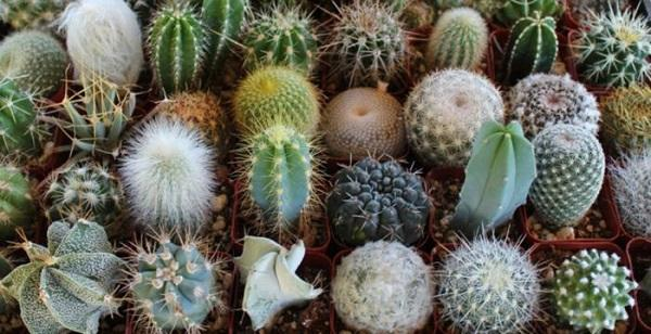 Большое разнообразие маленьких кактусов