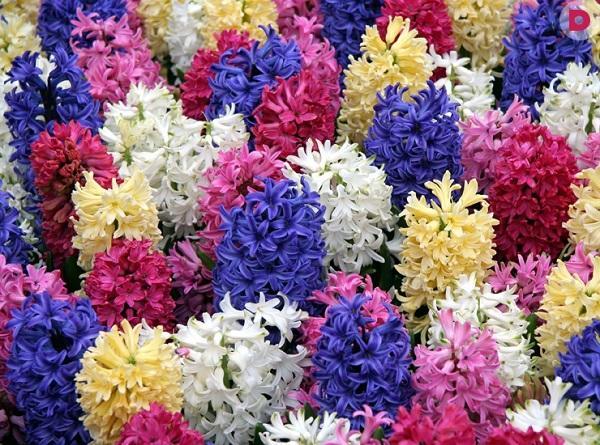 Разноцветные цветы гиацинтов дома