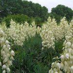 Белые цветы юкки