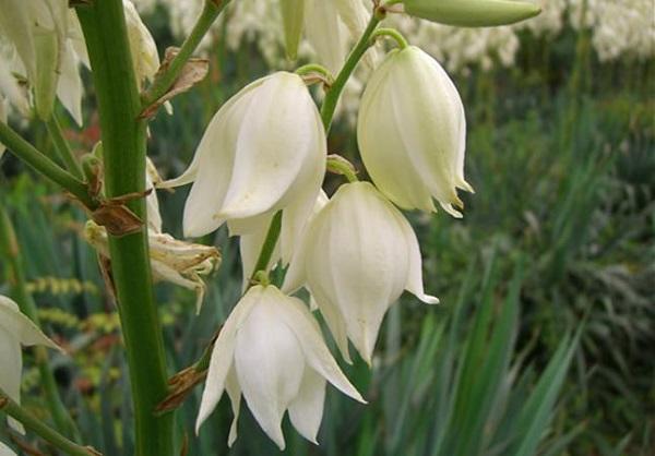 Белые цветы растения юкки