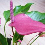 Цветок антуриума сиреневого цвета