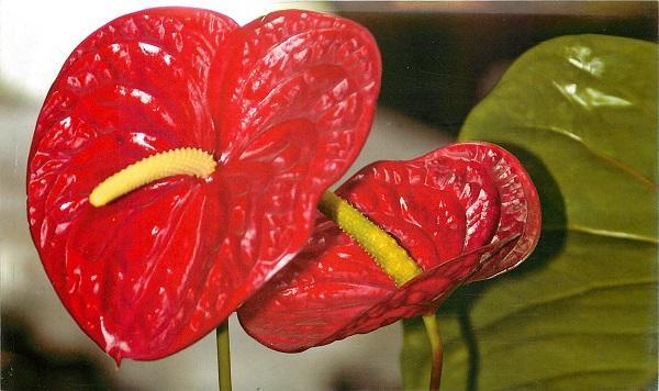 Красные цветы антуриума