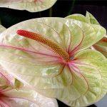 Цветок антуриума белого цвета