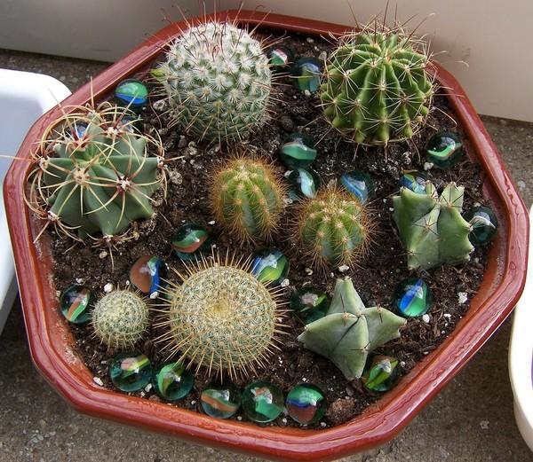 Плошка с коллекцией кактусов