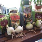 Гиппеаструм - луковицы цветка