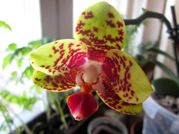 Желтая орхидея в доме