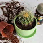 Домашние кактусы в горшках