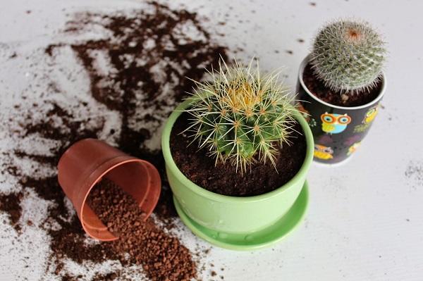 Правильная пересадка кактусов в горшок