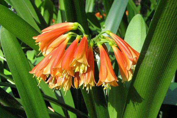 Комнатный цветок кливия дома