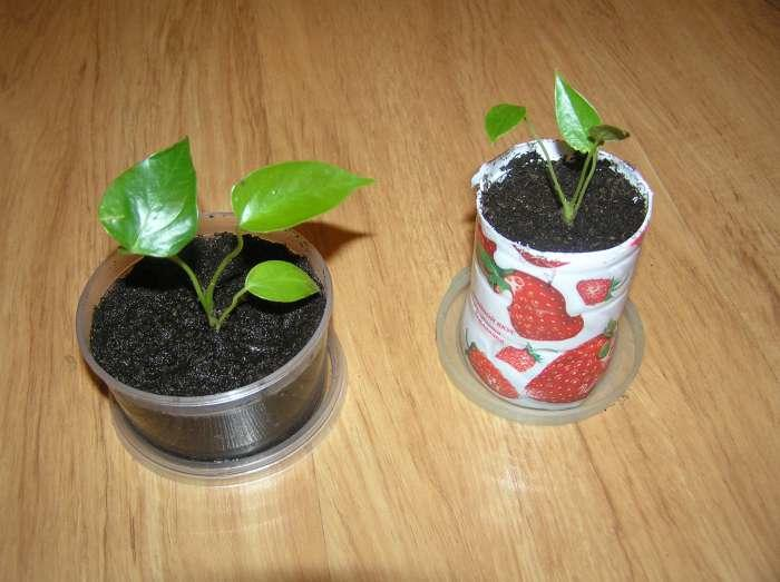 Молодое растение антуриум в горшках