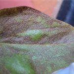 Пораженный болезнью листок антуриума