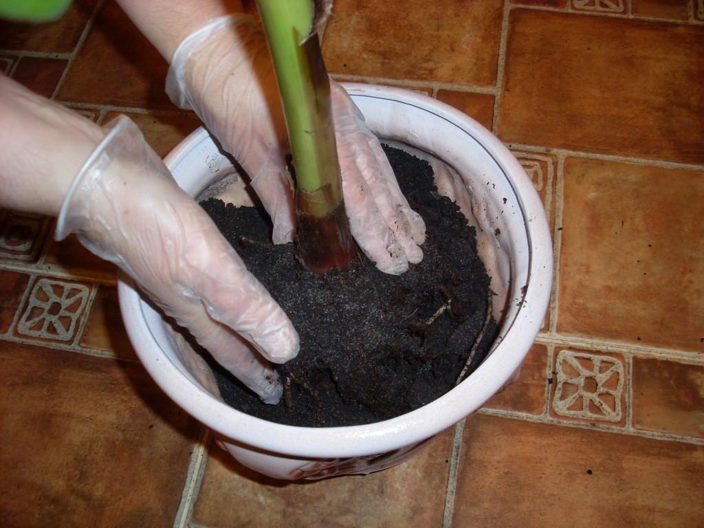 Процесс пересадки цветка антуриум